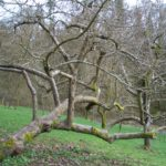 old-apple-tree-3372